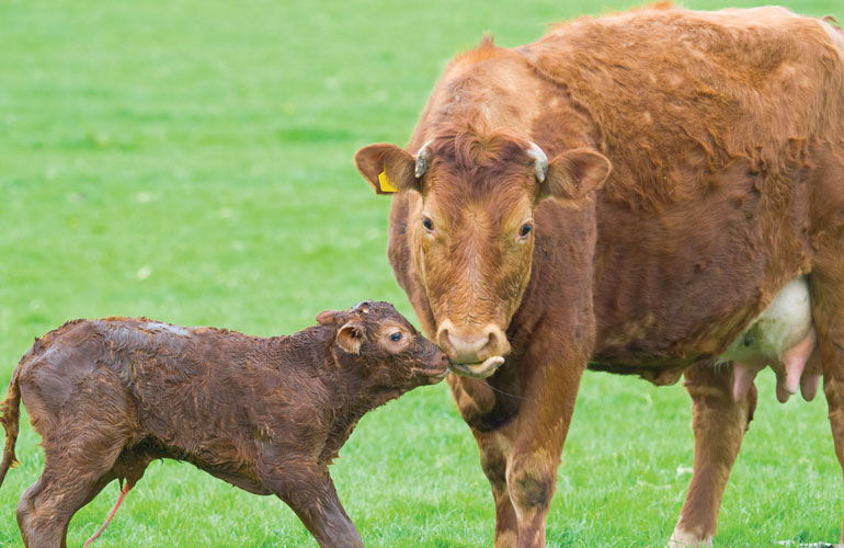 cow-with-newborn-calf